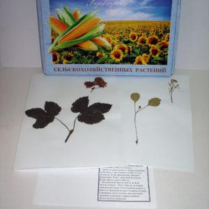 Гербарий Сельскохозяйственные растения